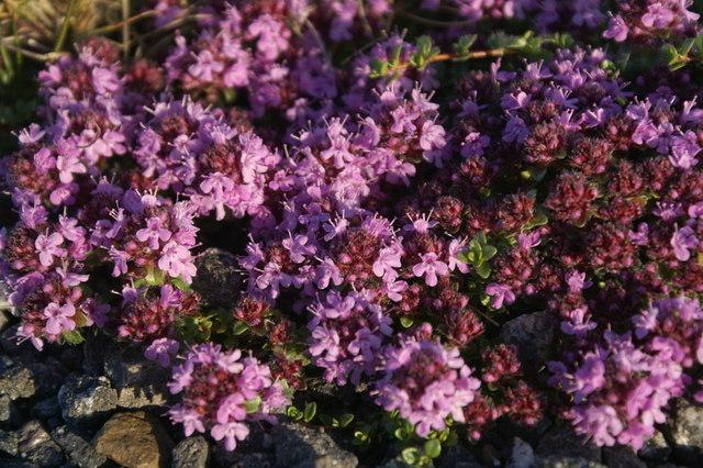 native wild common thyme